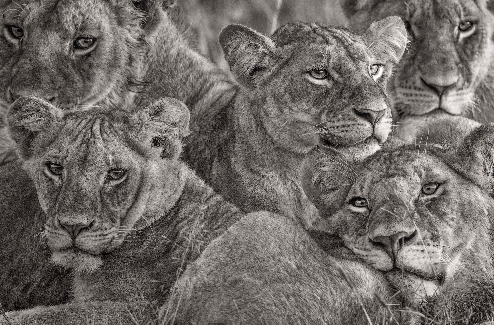 Африканские львицы, Национальный заповедник Масаи-Мара, Кения