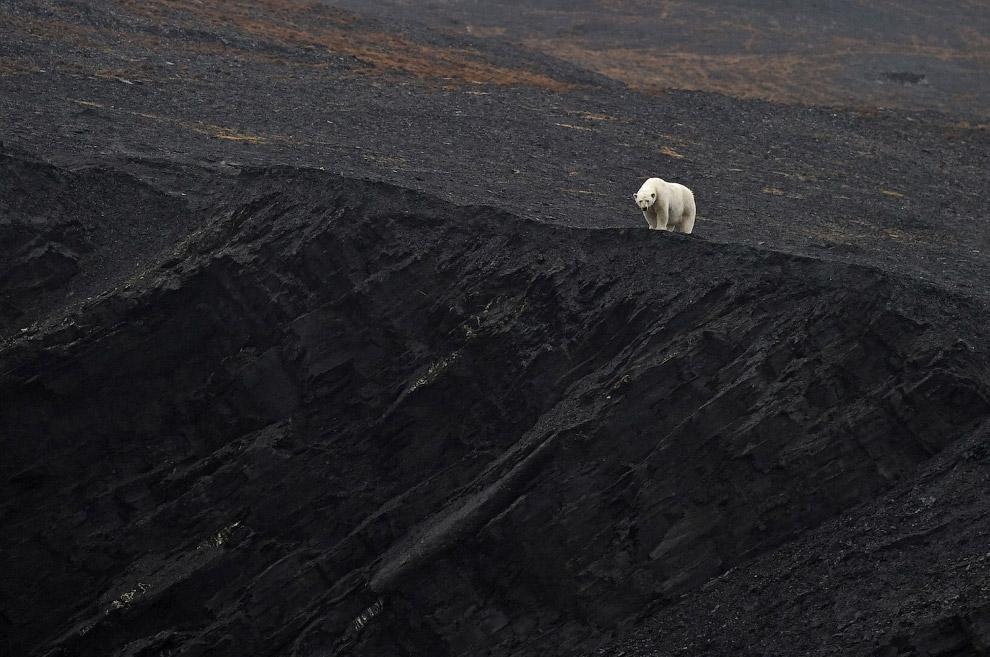 Крупнейший сухопутный хищник планеты - белый медведь