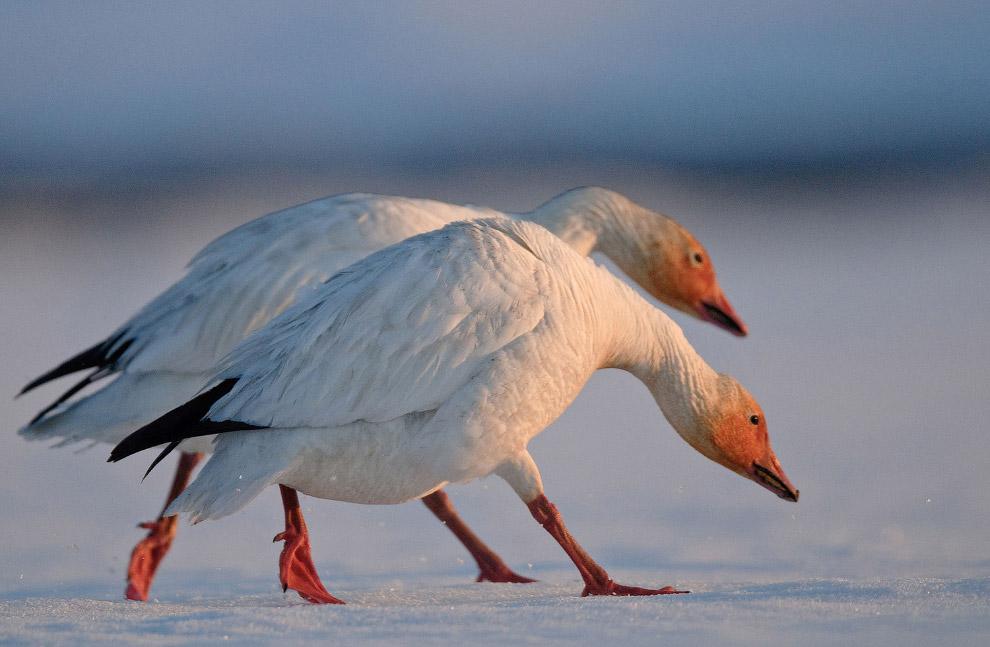 Белые гуси