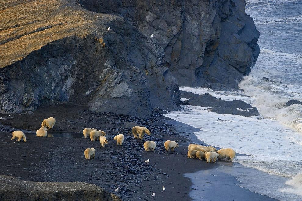 Белые медведи собрались вокруг чьей-то туши