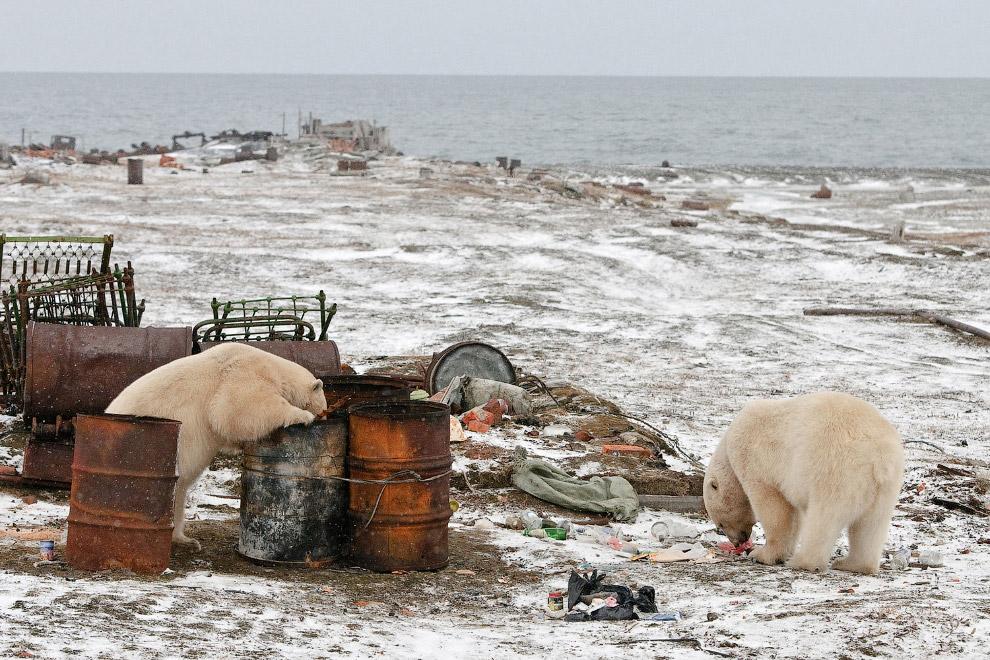 Медведи ищут в бочках что-нибудь съестное
