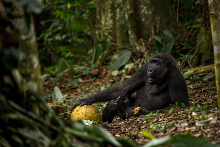 Западная низменная горилла в национальном парке Одзала в Республике Конго