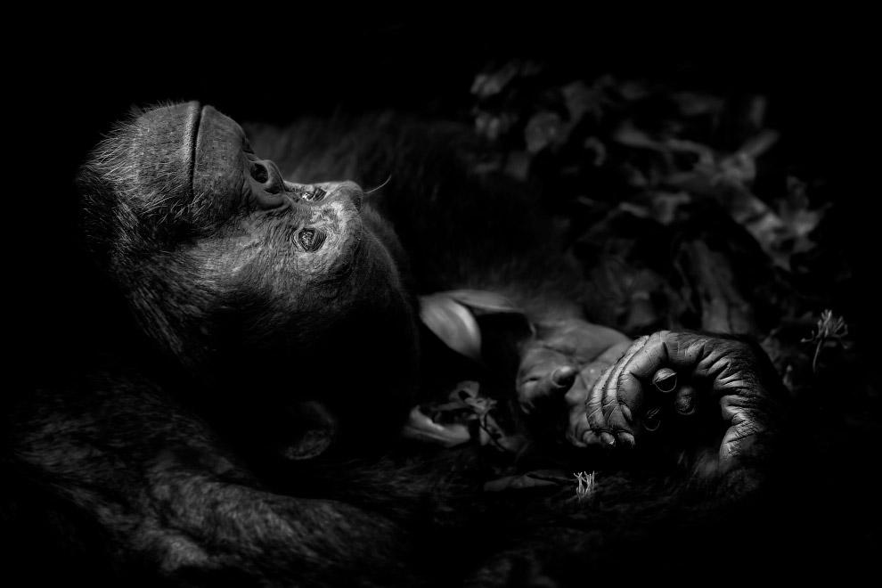 Шимпанзе в национальном парке Кибале в Уганде