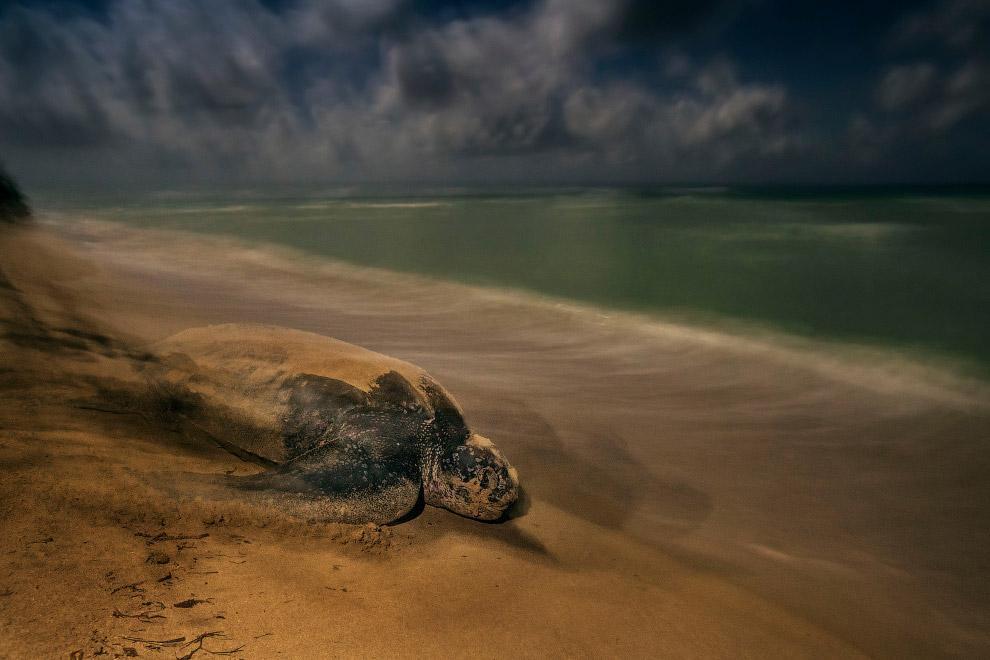 Снимок кожистой черепахи