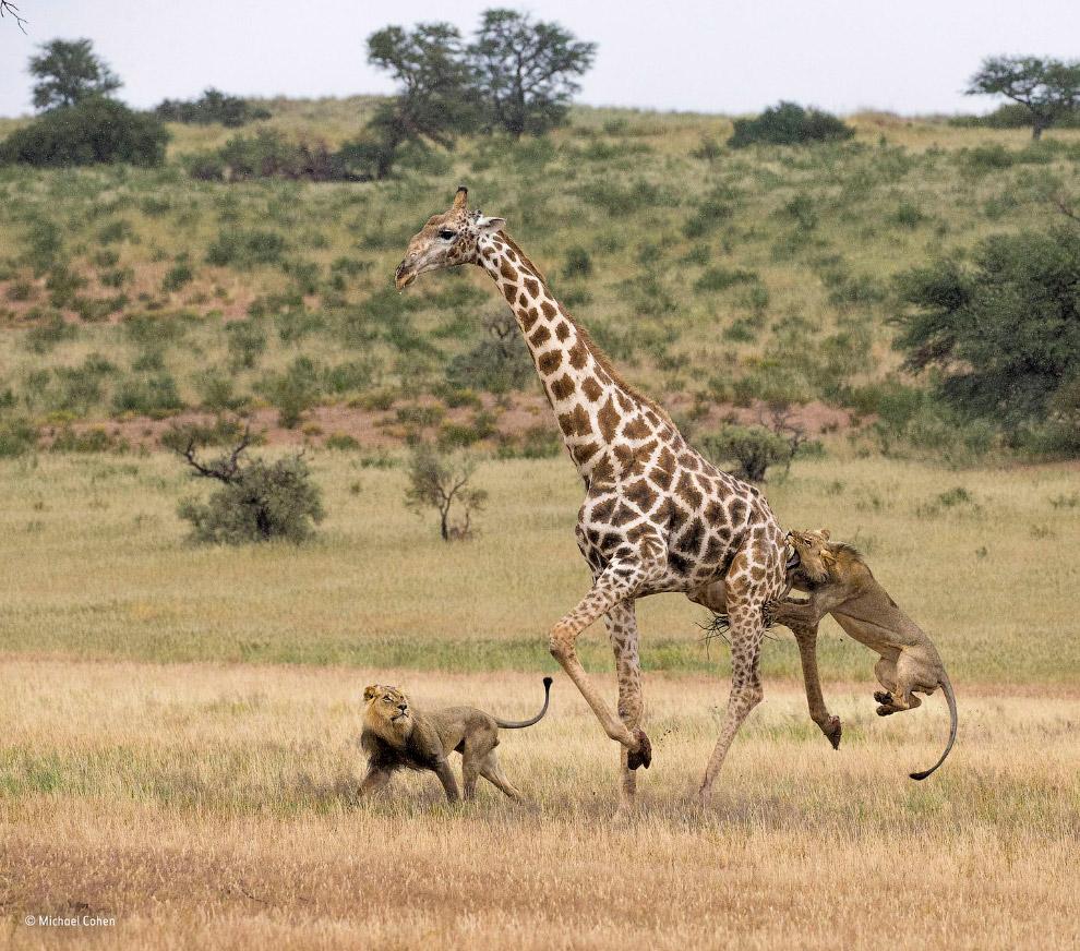 Охота двух молодых львов на жирафа в парке Кгалагади, Ботсвана
