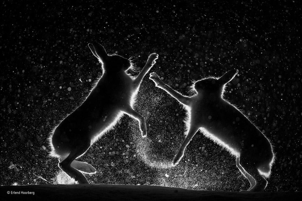 Ссора двух зайцев