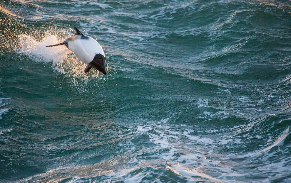 Дельфин Коммерсона, или пёстрый дельфин