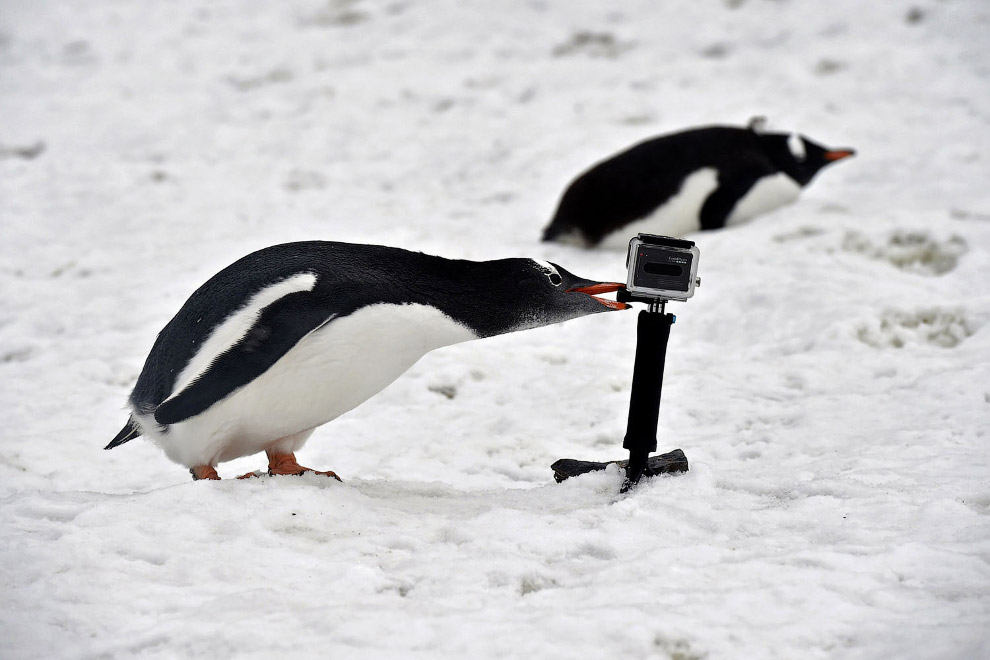 Пингвин против GoPro