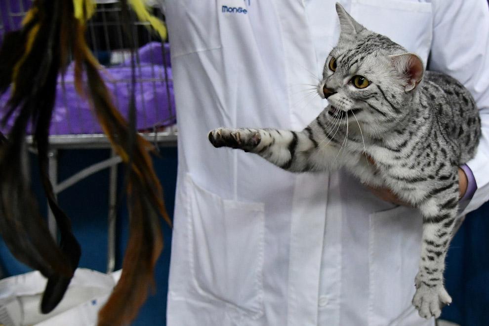 Короткошёрстная египетская кошка
