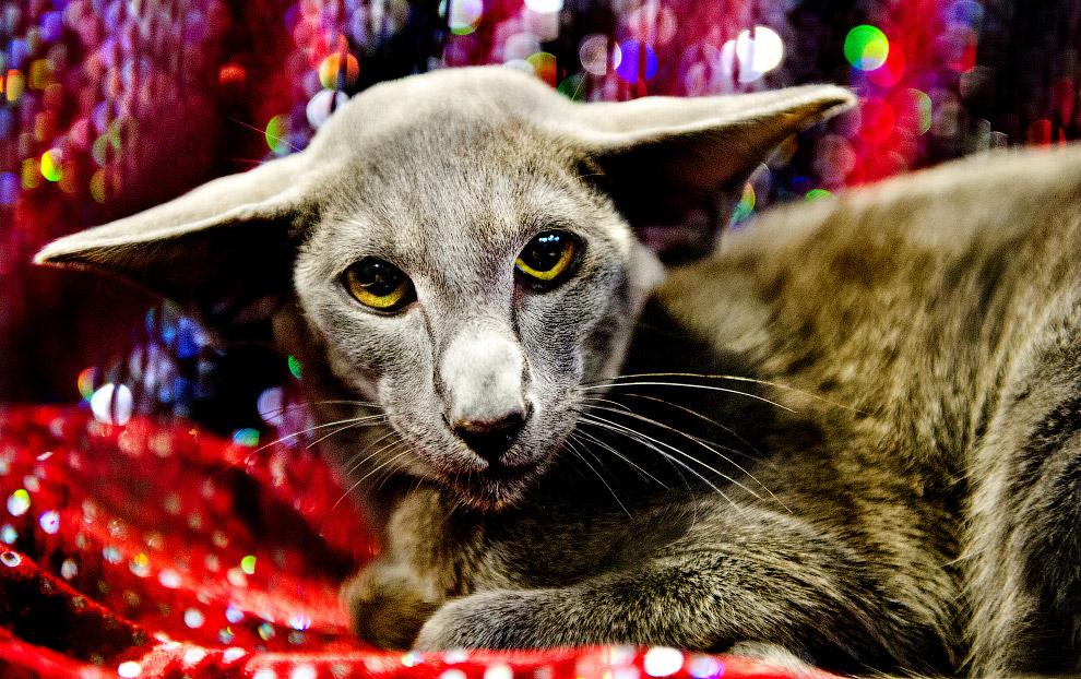 The Supreme Cat Show 2017