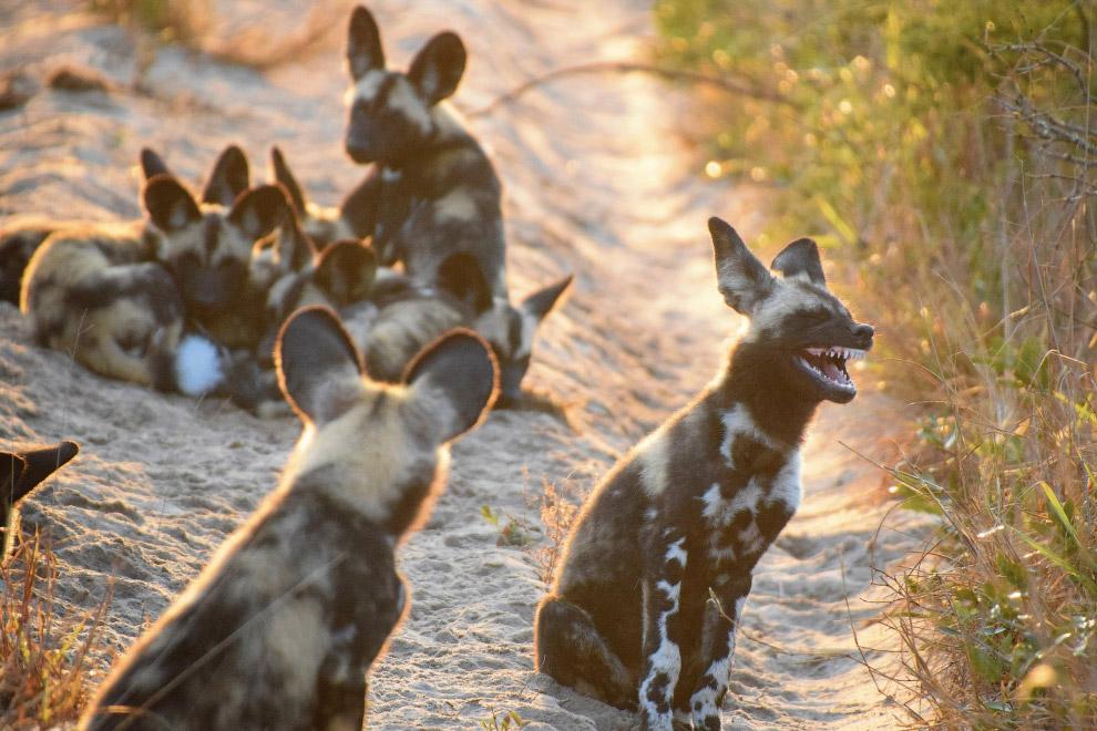 Гиеновидные собаки в Африке