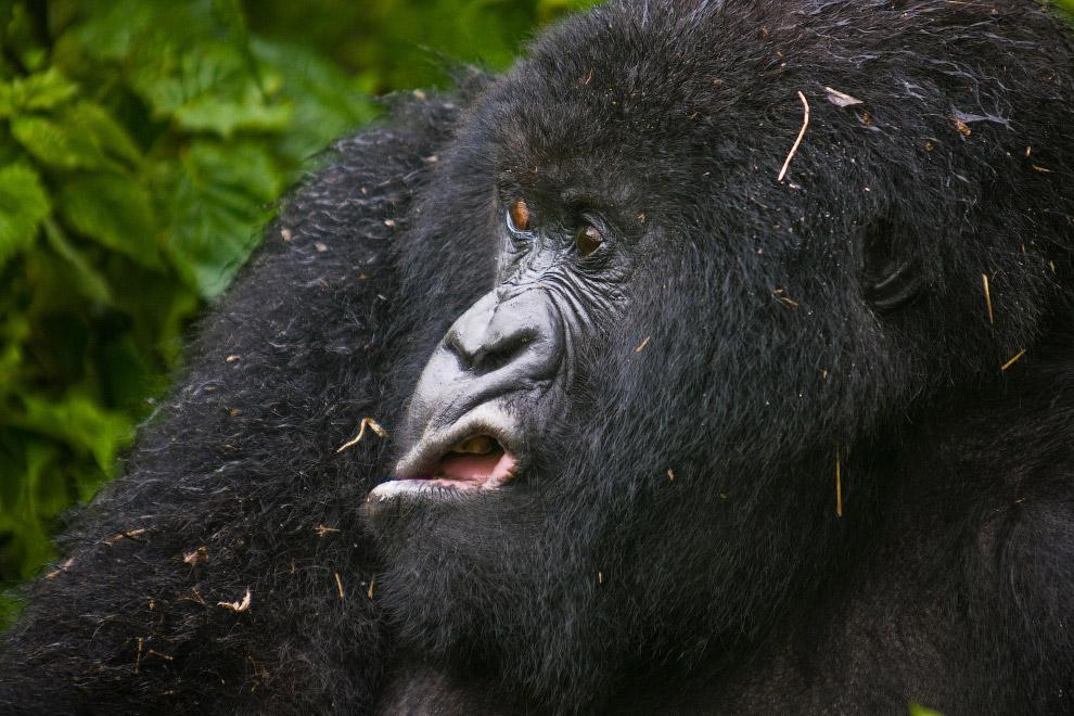 Горная горилла в Руанде