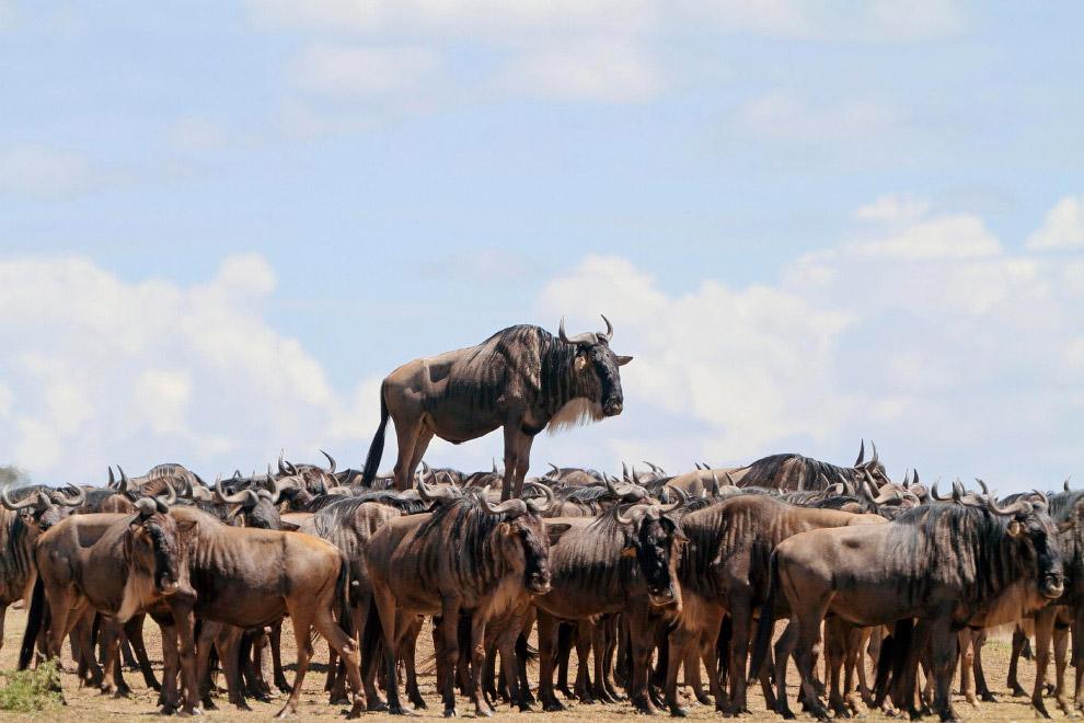 Гну в Масаи Мара, Кения