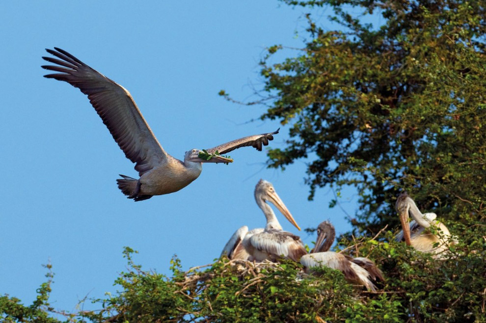 Серый пеликаны