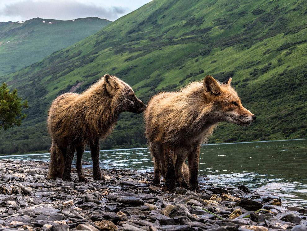 Лисы в национальном резервате дикой природы в Кадьякском архипелаге на юго-западе Аляски, США