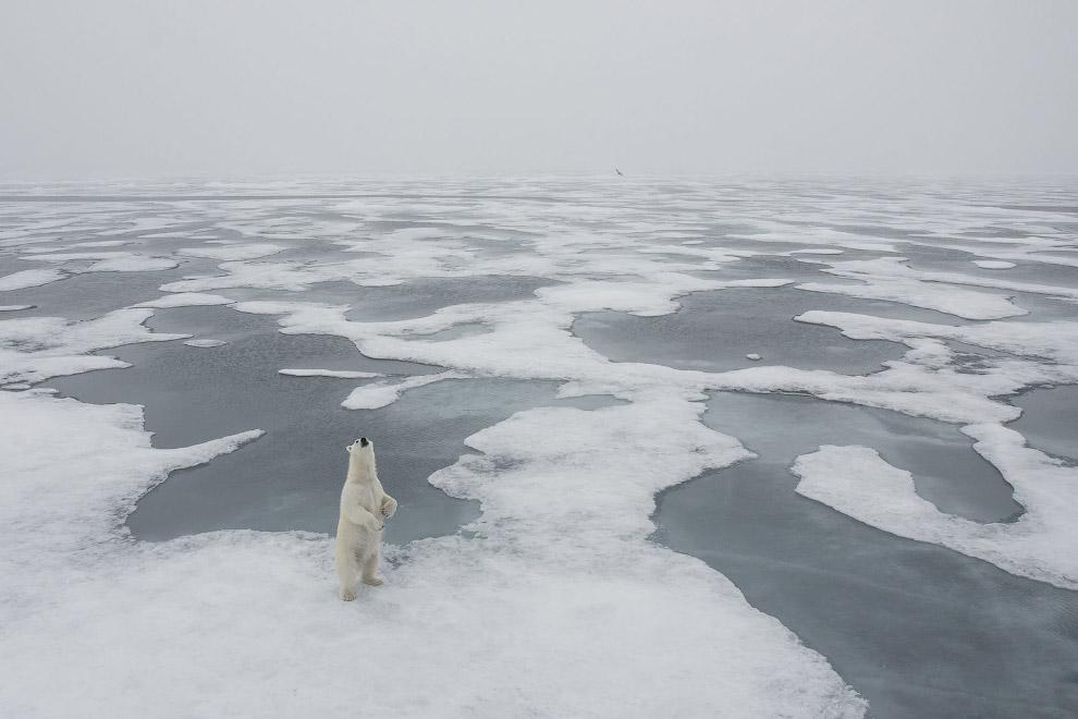 И не менее любопытная медведица к северу от архипелага Шпицберген