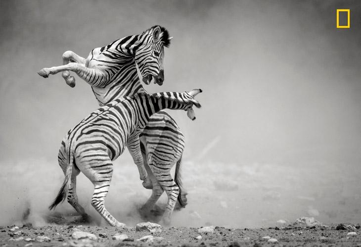 Дуэль зебр