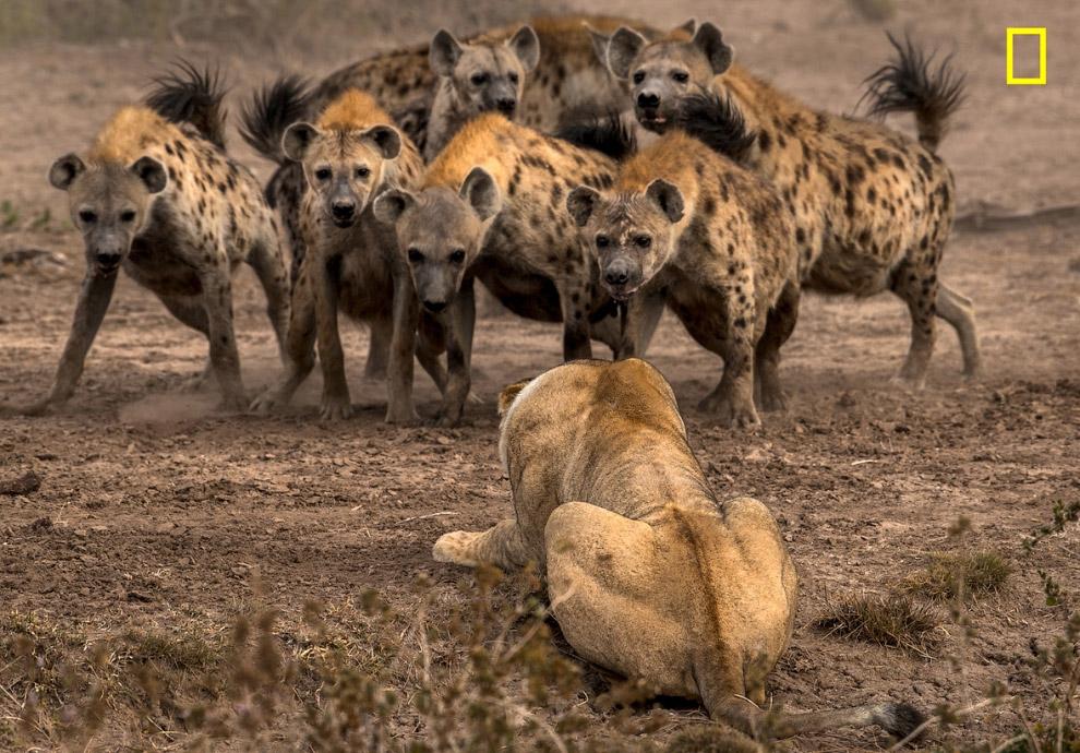 Гиены и львы