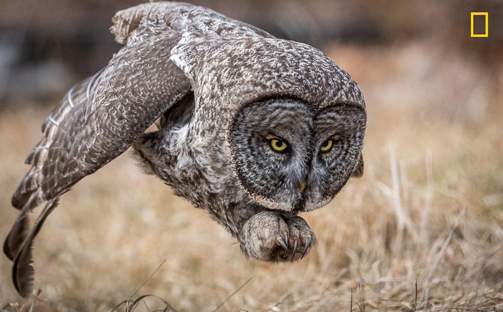 Умелый охотник — сова настигает грызуна