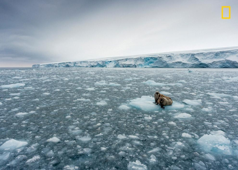 Моржи. Уединились на льдине