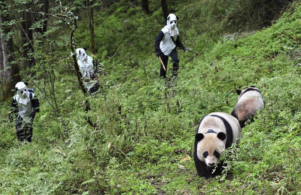 Научные сотрудники и панды
