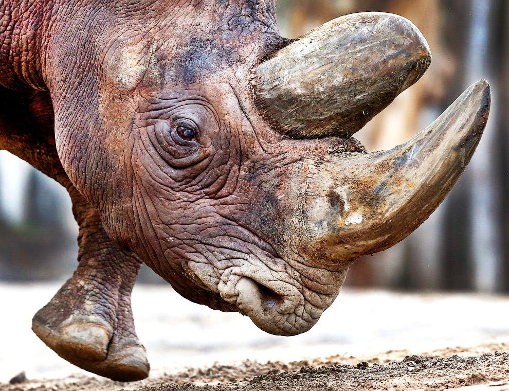 Портрет носорога
