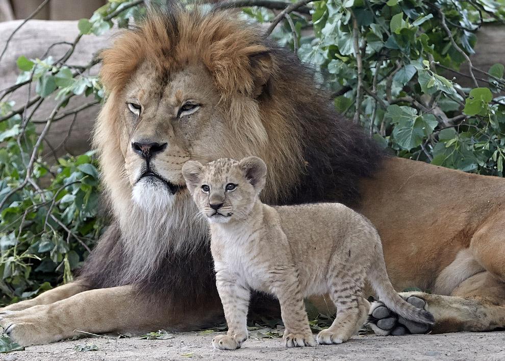 Царь зверей. Настоящий и будущий