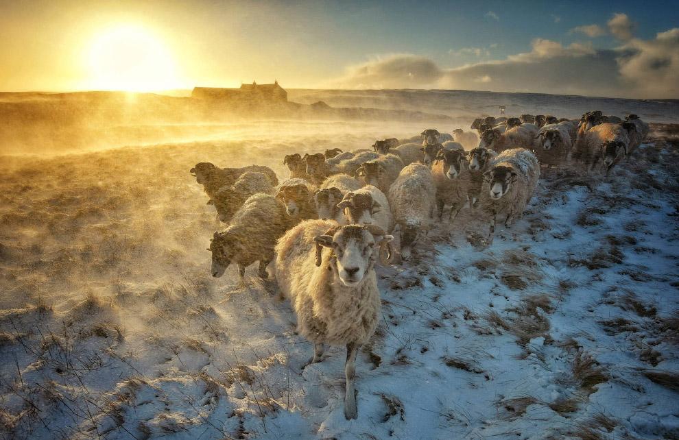 Стадо овец в снежном Йоркшире, Великобритания
