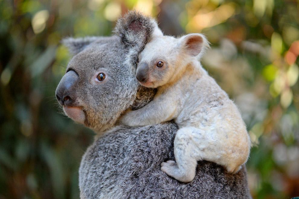 Коалы в Австралийском зоопарке