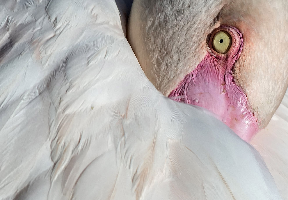 Застенчивый розовый фламинго