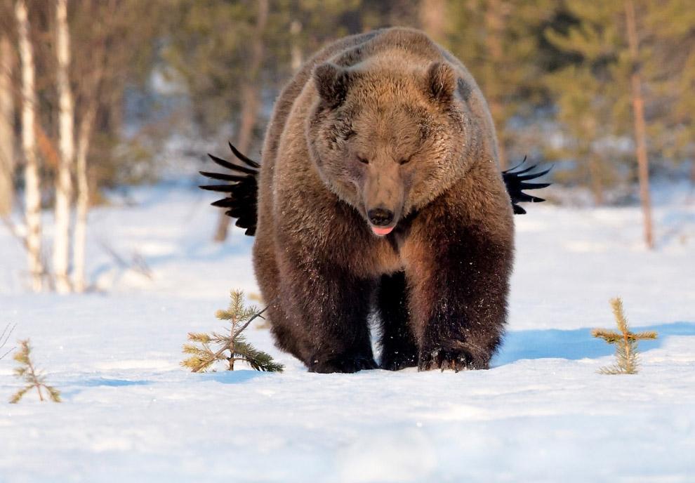 Крылатый медведь