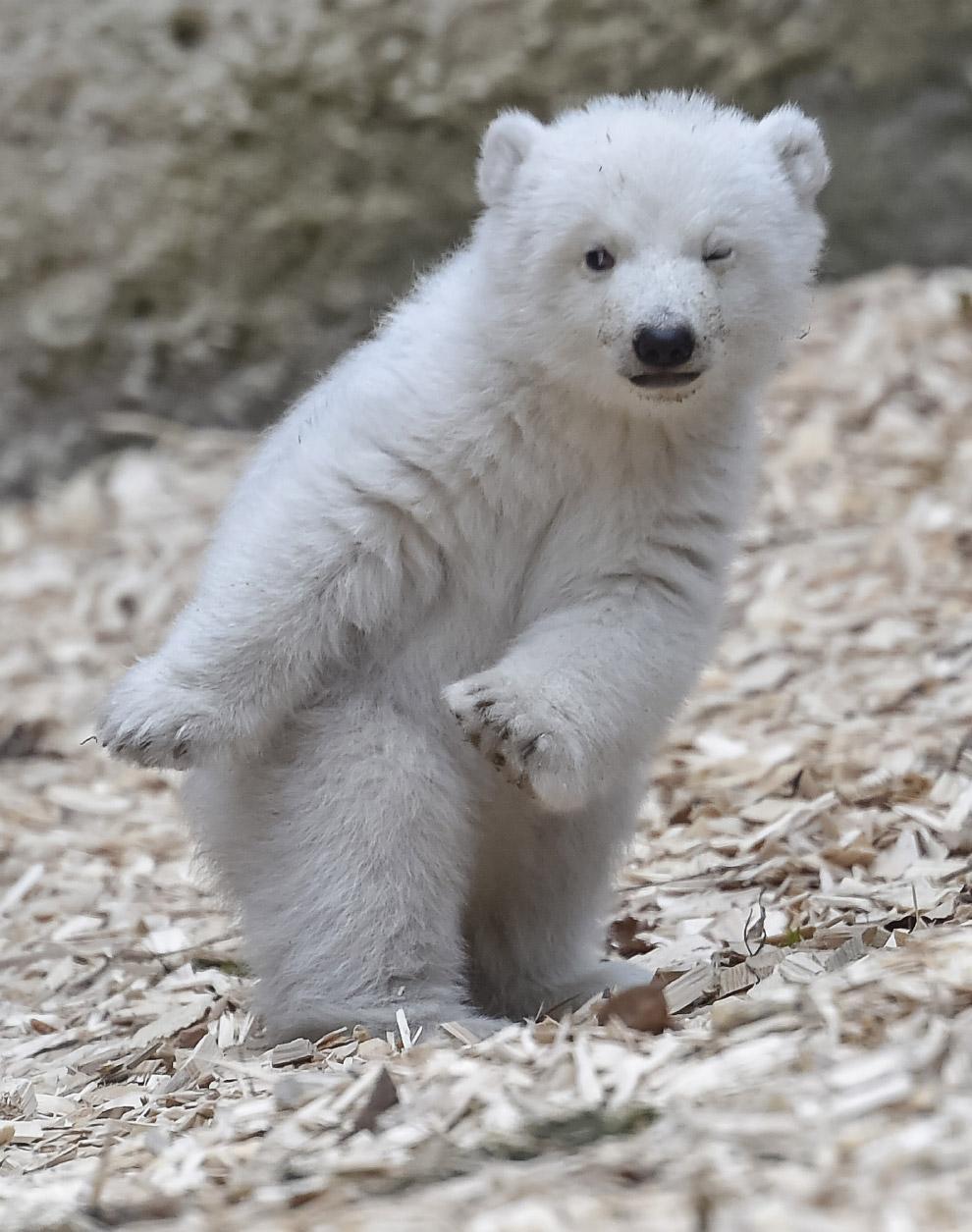 14-недельный белый медведь в Мюнхене
