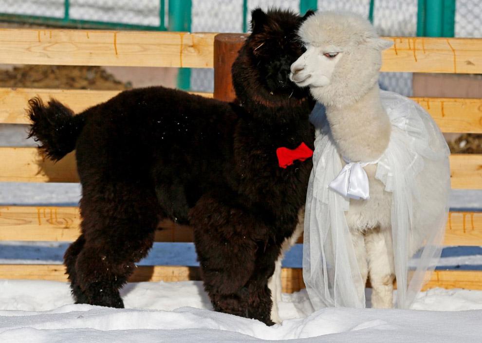 В зоопарке Роева Ручей в Красноярске День святого Валентина