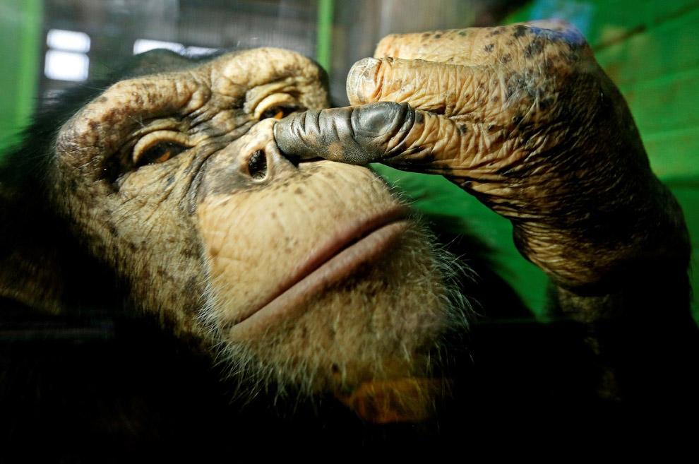 Шимпанзе в зоопарке в Красноярске