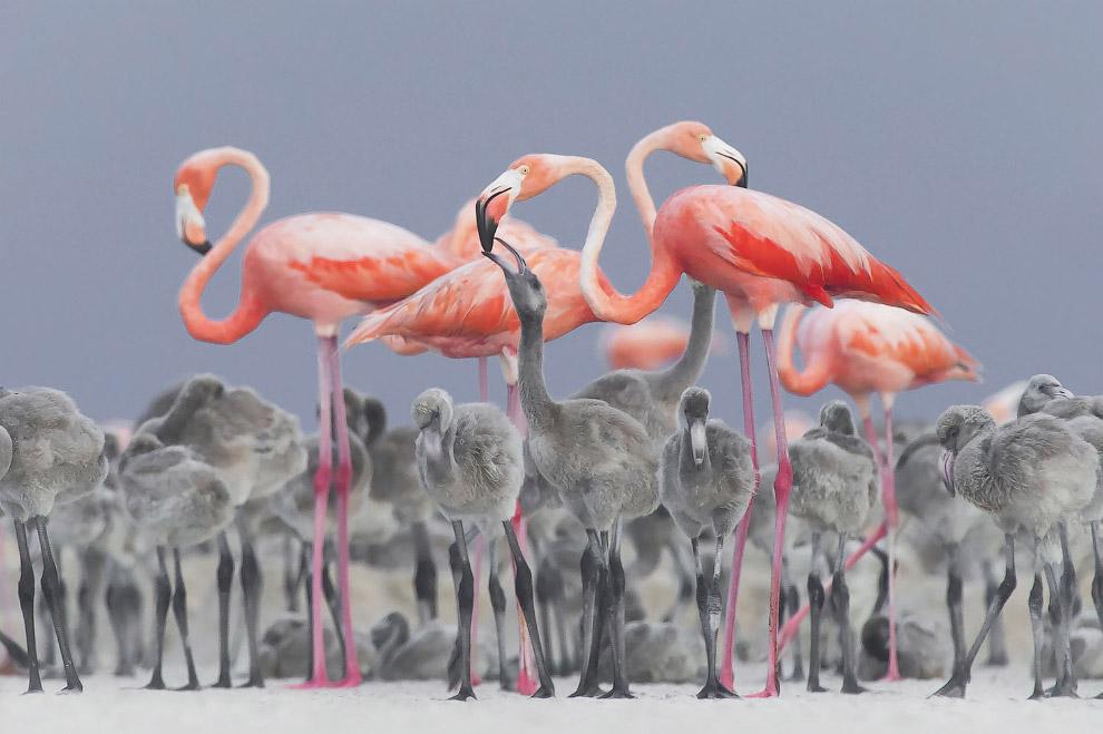 Розовые фламинго и птенцы