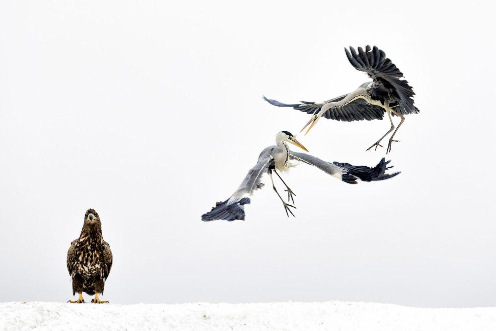 Орлану-белохвосту