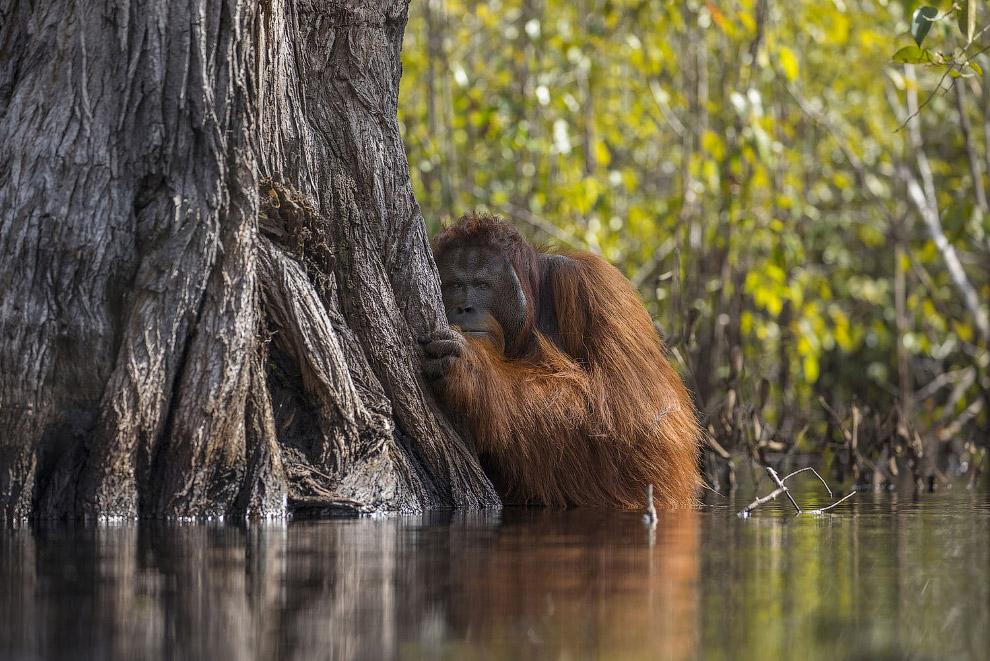 Застенчивый орангутанг на острове Борнео, Индонезия