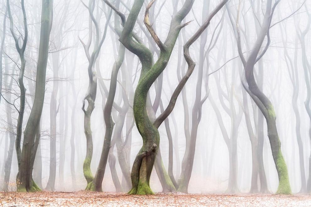 Это танцующие деревья в лесу Спилурда в Нидерландах