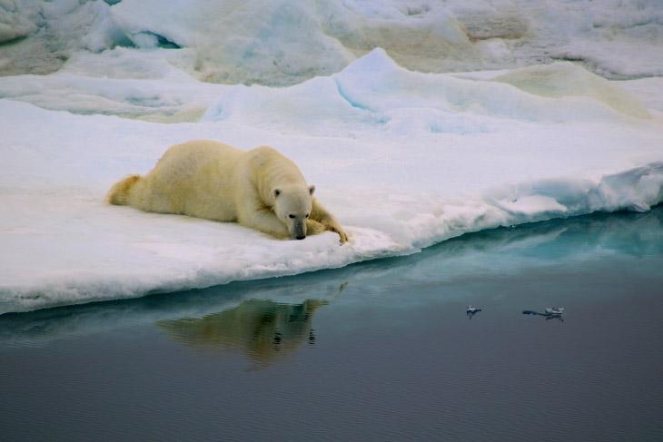 Белый медведь вблизи восточного побережья Гренландии