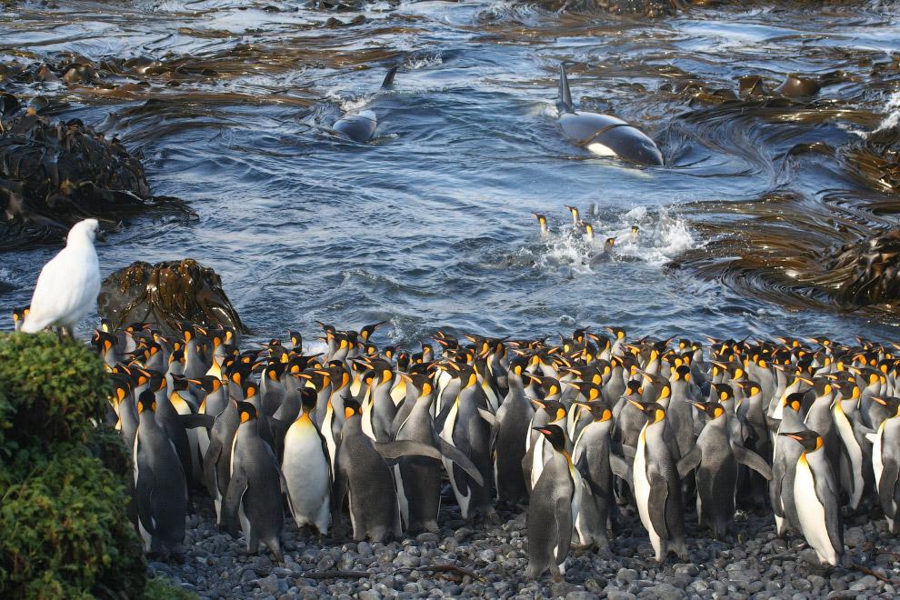 Королевские пингвины и могучие косатки