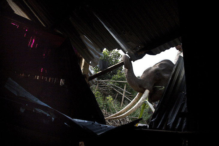 Слон, как бульдозер для сноса