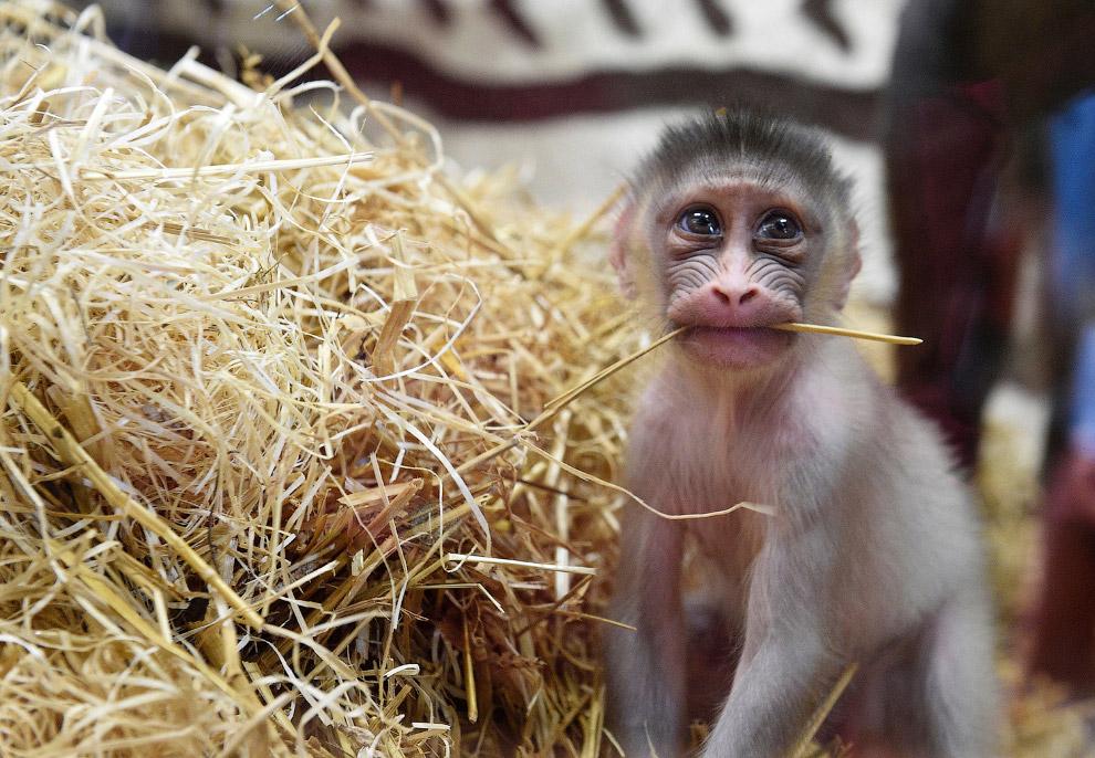 Новорожденный мандрил в зоопарке в в Амневиле, Франция