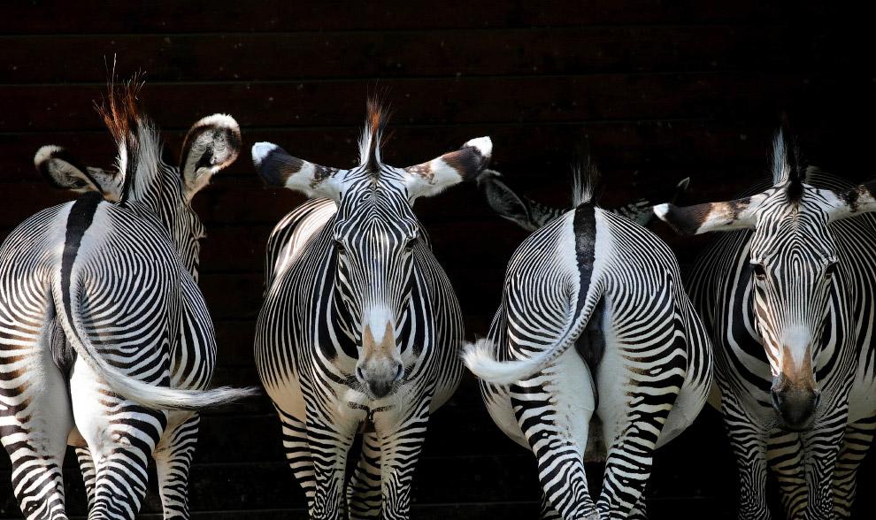 Не определились. зебры в зоопарке в Аугсбурге, Германия