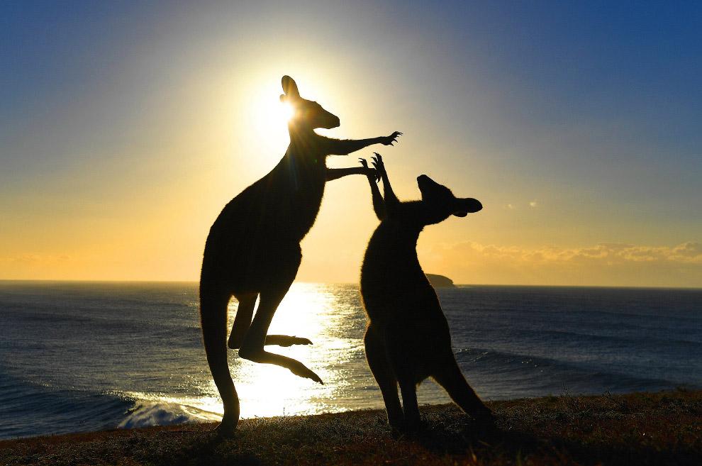 Бойцовский поединок у кенгуру в Австралии