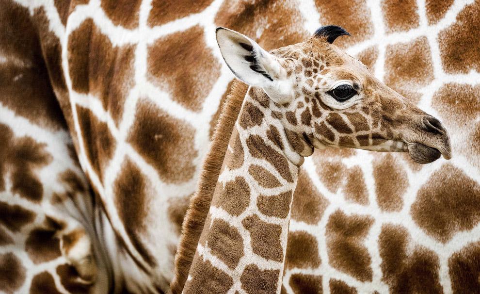 Мама и жирафенок