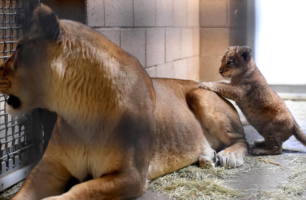 Грозная мама и львенок в зоопарке в Калифорнии