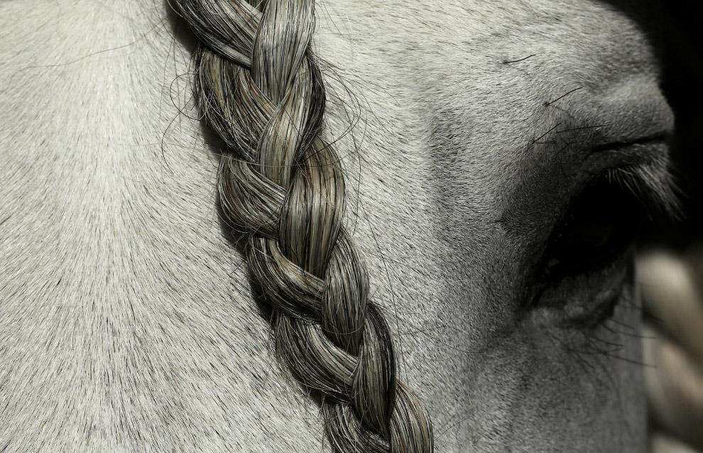 Чистокровная испанская лошадь на юге Испании