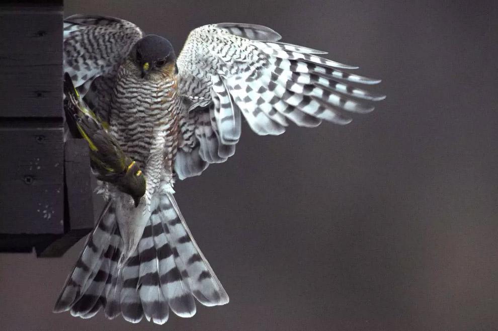 Ястреб-перепелятник поймал свою добычу в кормушке для птиц под Будапештом