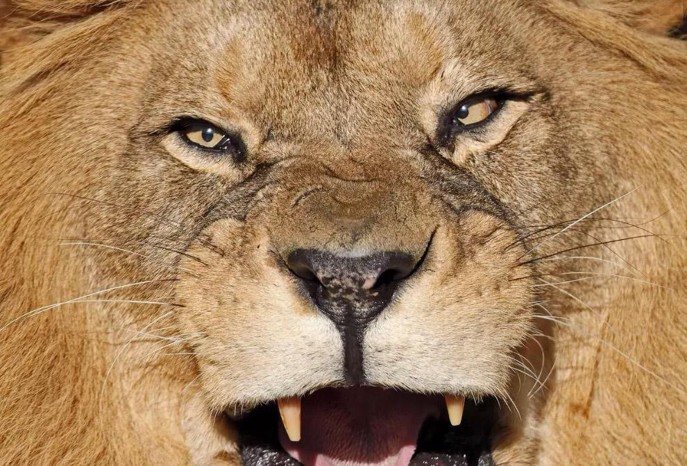 Недовольный азиатский лев