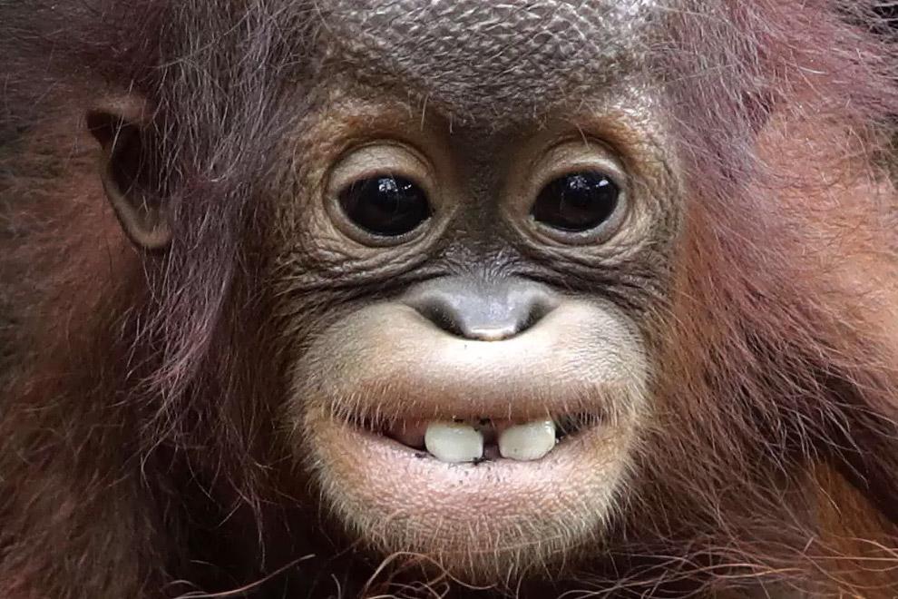 восьмимесячный орангутанг в Сингапурском зоопарке